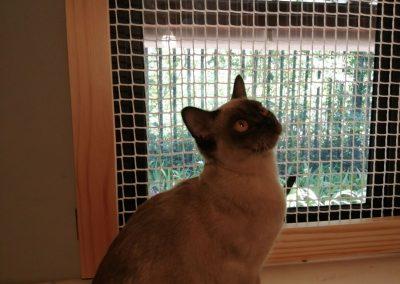 Burmese cat happy inside the shelter at Feline Fun Cattery